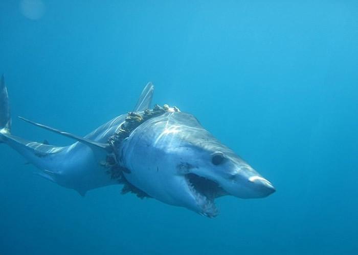 大白鲨的身体被捕鱼绳索缠绕。