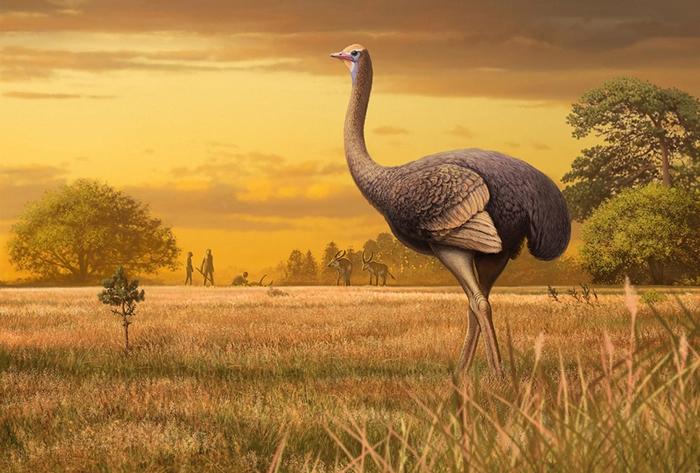 不会飞的巨型鸟类Pachystruthio dmanisensis(如示意图)在将近200万年以前生活在现今黑海一带,也有可能是早期人类亲族的食物来源。 ILL