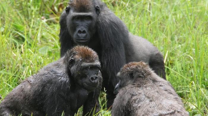 新研究指西部低地大猩猩会组成家庭 超爱开派对