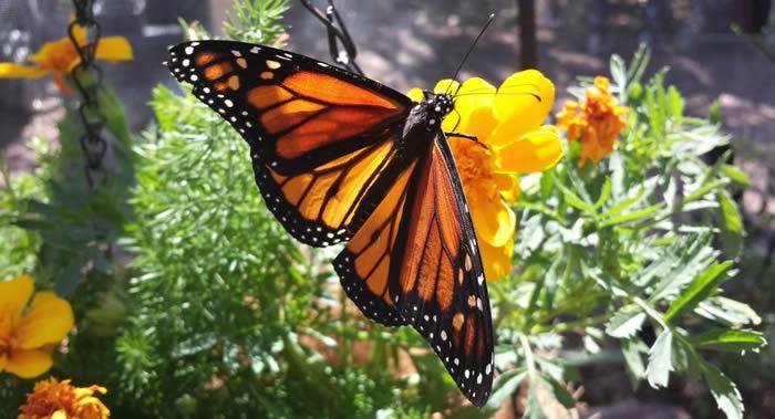《PLoS One》杂志:最近20年美国境内的蝴蝶数量神秘地减少三分之一