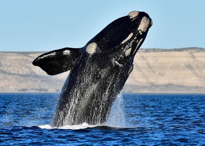 加拿大新措施保护濒危露脊鲸 拟减少人类活动影响