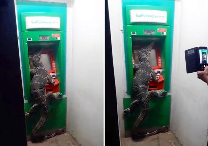"""泰国网友到ATM排队提钱时 发现前面竟然是一只大""""水巨蜥"""""""