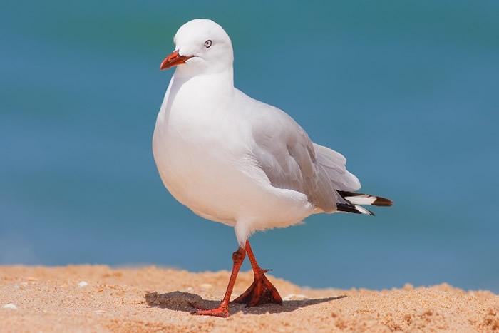 澳洲大学研究指部分海鸥带有的抗药性病菌或会令人类出现严重感染