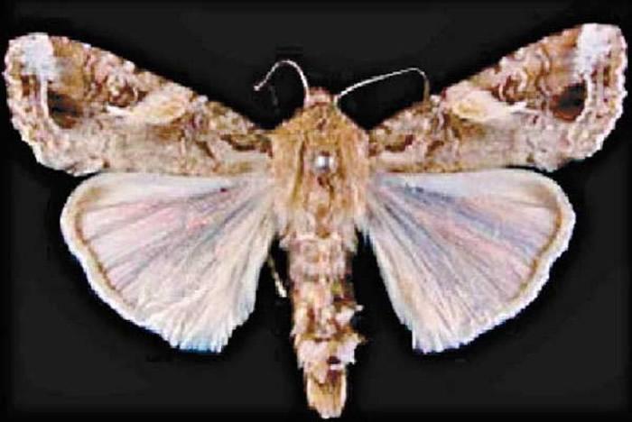 日本草地贪夜蛾虫害扩散 长崎等5县发现幼虫