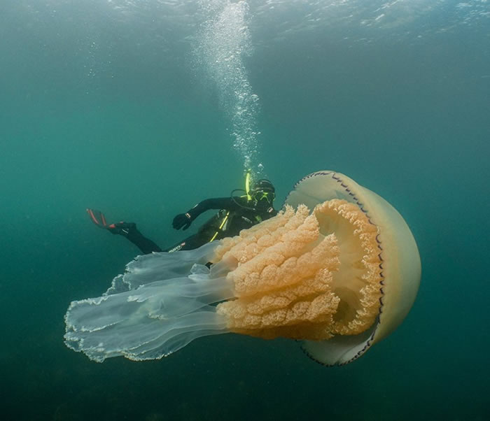 英国南部康沃尔郡海岸拍到一只和人一样大的巨型水母