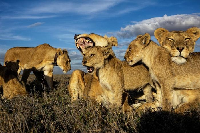 在现实生活中主导狮群的应该是辛巴的妈妈