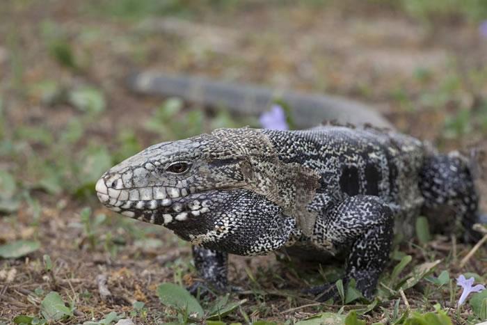 这是一只在原生地巴西拍摄的南美蜥(Argentine tegu,又称泰加)。 南美蜥在美国已是热门的宠物,但脱逃或放生的个体也成了美国野外的入侵物种。 PHOT
