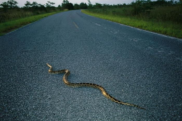 一条缅甸蟒(Burmese python)正穿越佛罗里达的马路。 这种蛇原生东南亚,估计目前有成千上万只生活在佛罗里达大沼泽(Everglades)中,造成了原