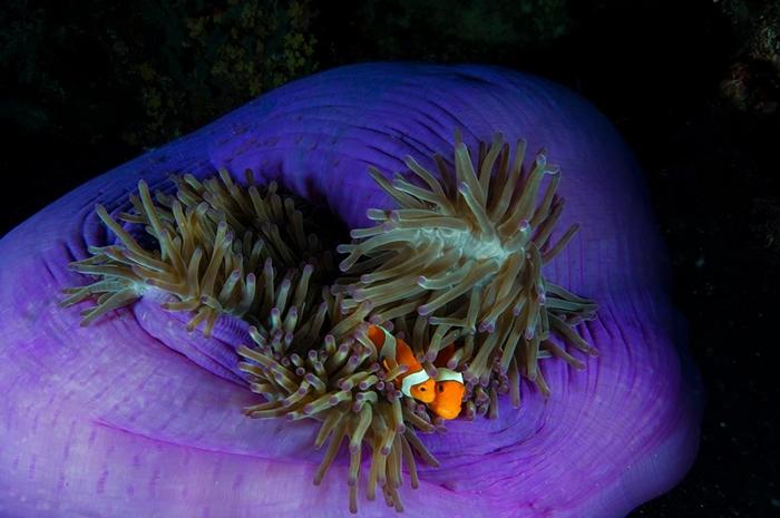 两只小丑鱼在菲律宾群岛的海里互相依偎在牠们寄宿的海葵里。 PHOTOGRAPH BY JENNIFER HAYES, NAT GEO IMAGE COLLECT