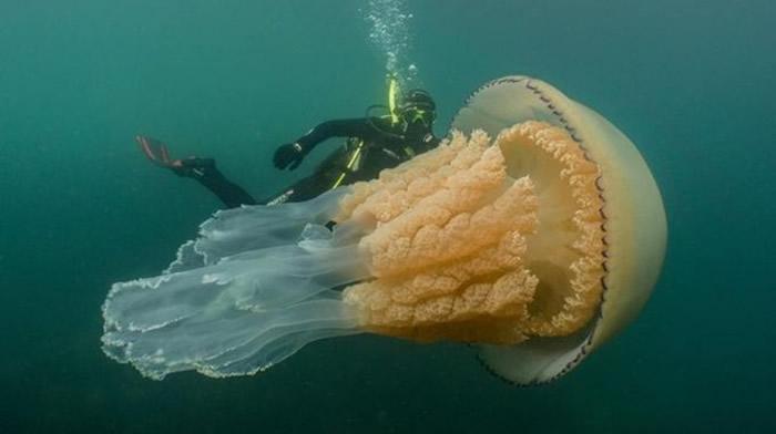 英国康沃尔郡法尔茂斯海岸惊见庞大桶水母