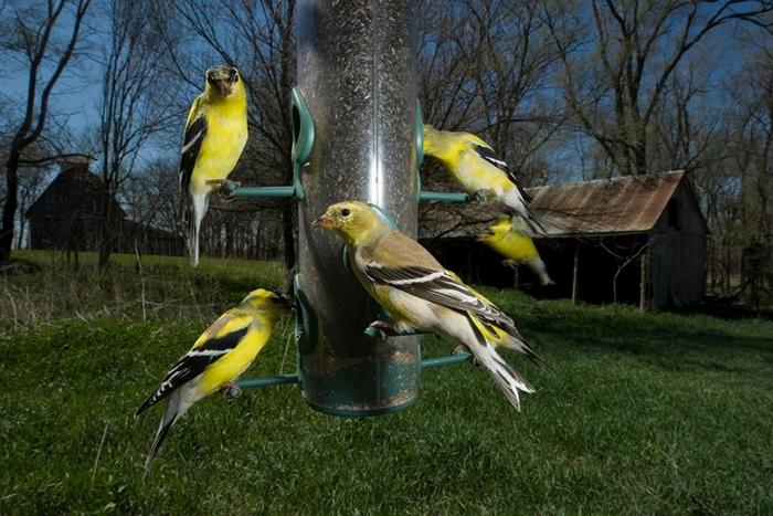喂鸟器虽然受到屋主们的欢迎,但对野生动物来说可能带来坏处。 它们的好处会超越那些坏处吗? PHOTOGRAPH BY JOEL SARTORE, NAT GEO