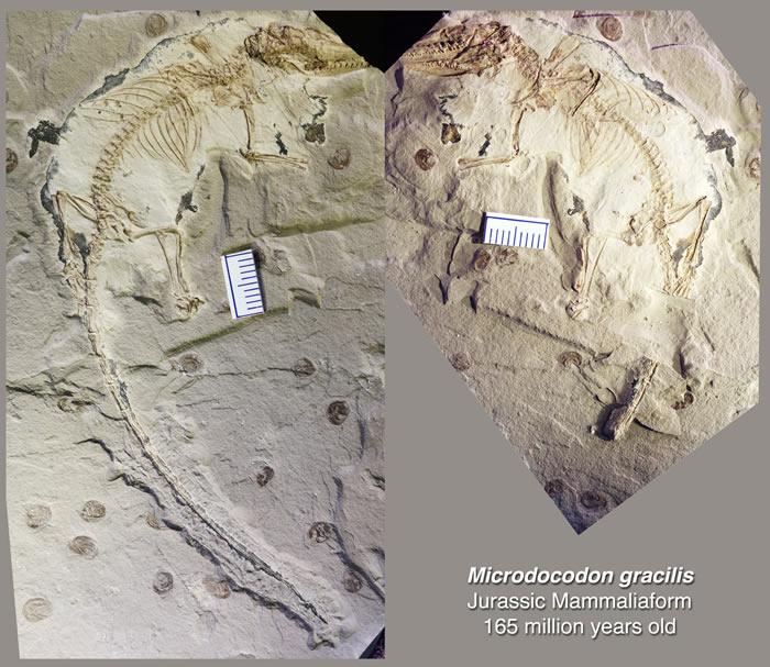"新的哺乳型动物化石--""微小柱齿兽""(Microdocodon)(Credit: Zhe-Xi Luo)"