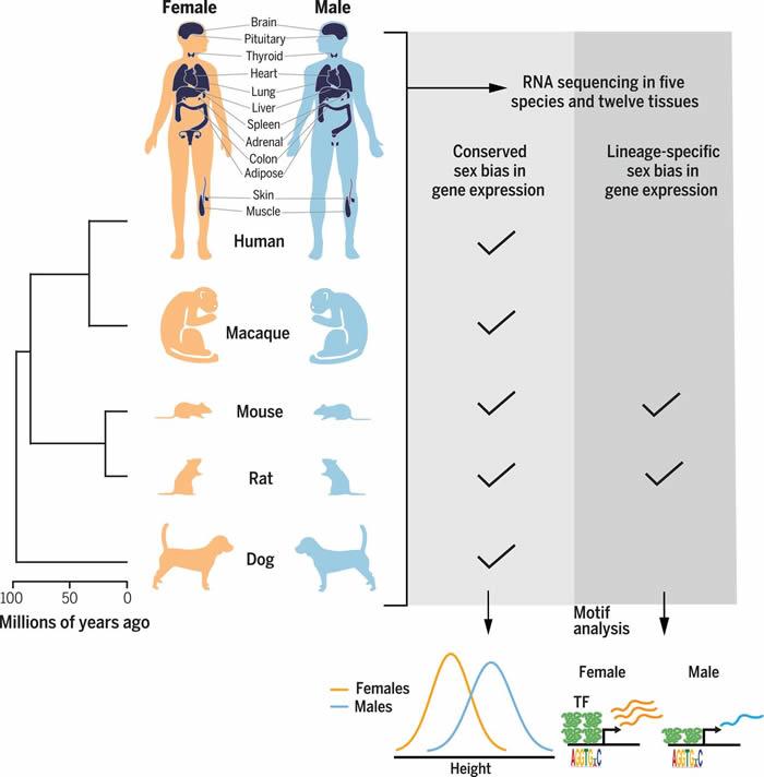 哺乳动物雌雄两性间存在着整个基因组中的基因表达变异