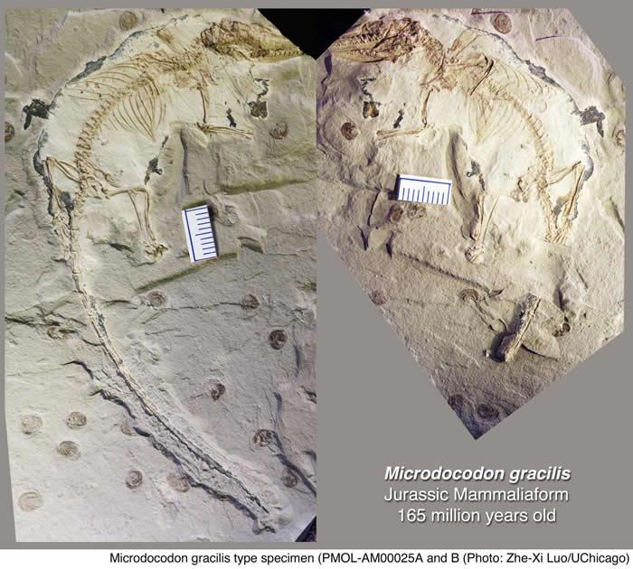 中国发现的侏罗纪时期早期哺乳动物化石揭示了灵动舌头的演化起源