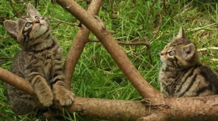 英国濒危苏格兰野猫首亮相 活泼可爱