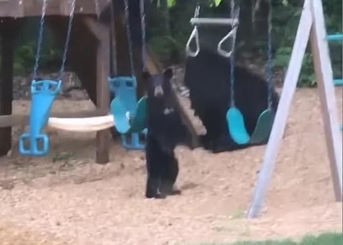 美国康涅狄格州熊妈妈带着2只熊宝宝闯入庭院玩秋千单杆