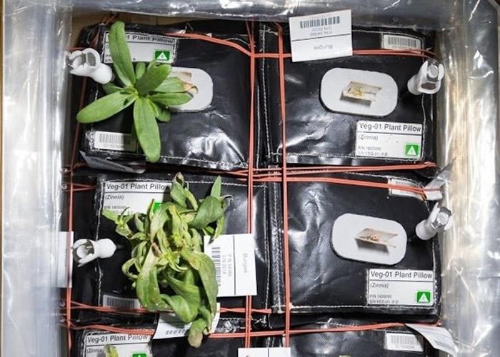 NASA曾于空间站种植蔬菜。