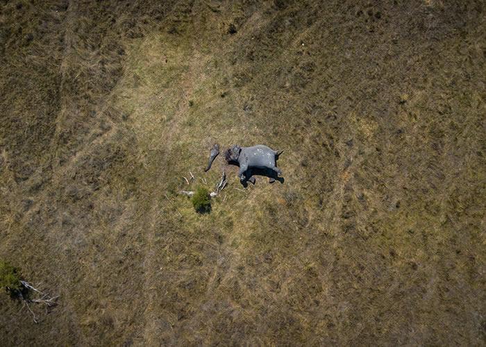 """非洲博茨瓦纳盗猎者为盗象牙把大象整个脸部割掉 震撼航拍照片""""Disconnection""""曝光"""