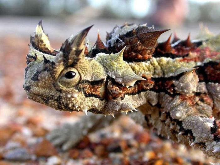 """世界上最丑的动物""""澳洲魔蜥""""一天会吃掉上千只蚂蚁"""