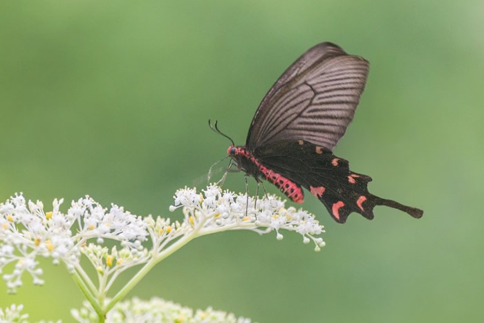 非常罕见的蝴蝶品种麝凤蝶首现凤园蝴蝶保育区。(凤园蝴蝶保育区提供)