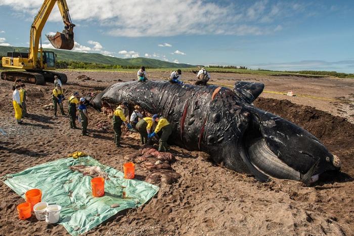 研究人员正在解剖雌性北大西洋露脊鲸「标点符号」(Punctuation),它因为皮肤上的疤痕而得名。 6月时在圣罗伦斯湾(Gulf of St. Lawrenc