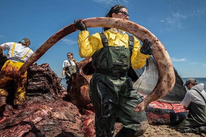 一位研究人员从九岁大的雄露脊鲸「金钢狼」(Wolverine)身上取下一根肋骨。 解剖小组寻找瘀青、骨折和出血的状况,这些是指向钝力外伤的证据,会符合船只撞击造