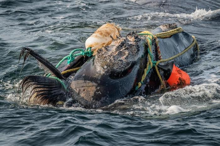 在圣罗伦斯湾,捕鱼用的绳索缠住了一头北大西洋露脊鲸的头和嘴。 被缠住可能导致鲸鱼饿死或溺水。 有一个救援小组在附近等待预备着,但这头鲸鱼在三个小时之后设法自行脱
