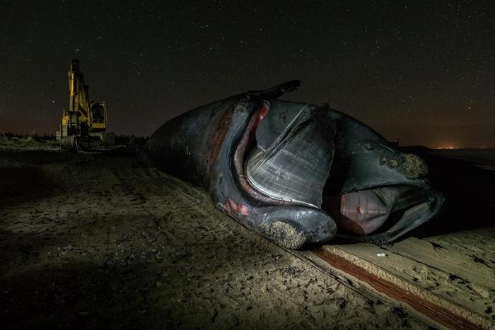 金钢狼这辈子逃过一次船只撞击、三度被渔具缠住,但在6月被人发现身亡。 他的死因尚未确认。 PHOTOGRAPH BY NICK HAWKINS