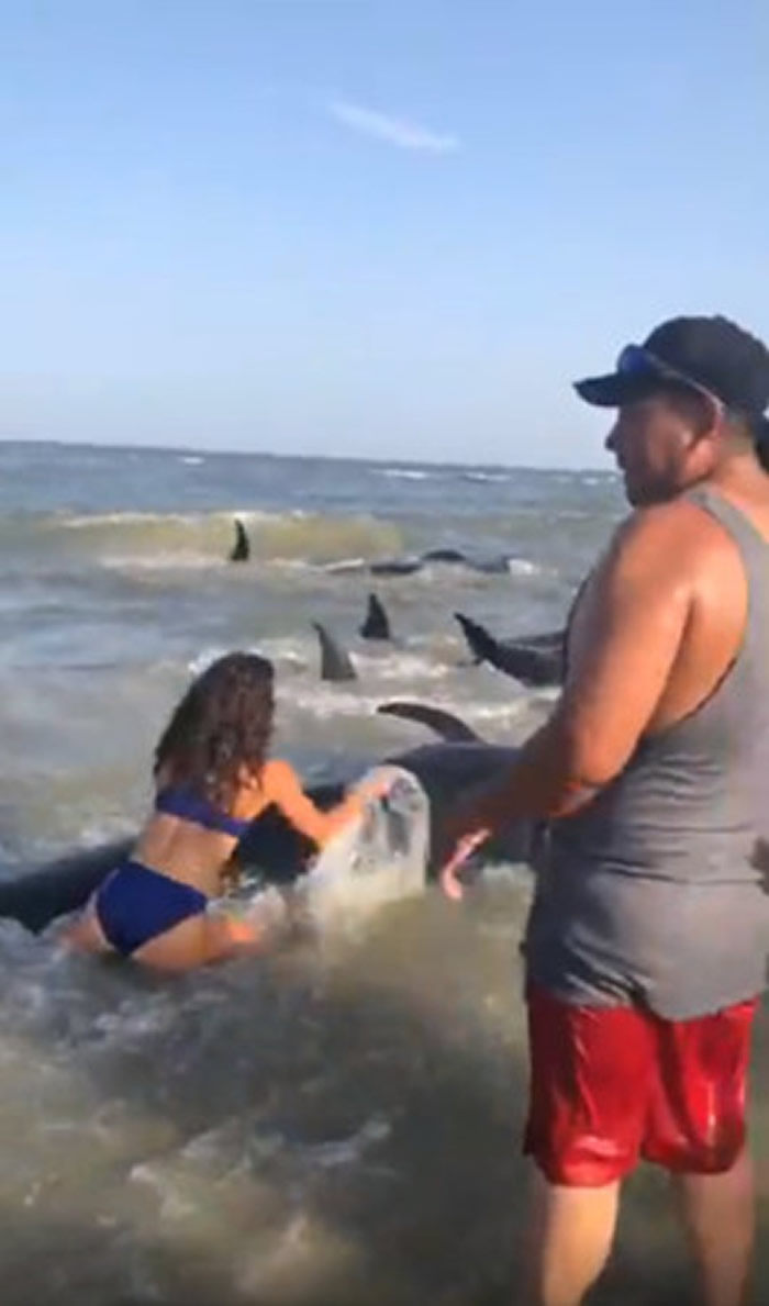 美国乔治亚州海滩游客拯救50多只搁浅领航鲸