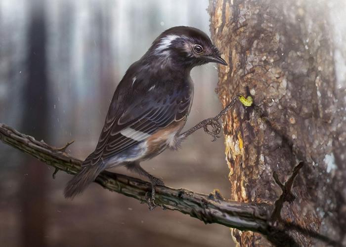 插图中这种有着怪异特长中趾的鸟类属于反鸟类(enantiornithine),那是一种已灭绝的恐龙时代鸟类。 目前的猜测是,这种鸟会使用脚趾来采食树干里的虫,就