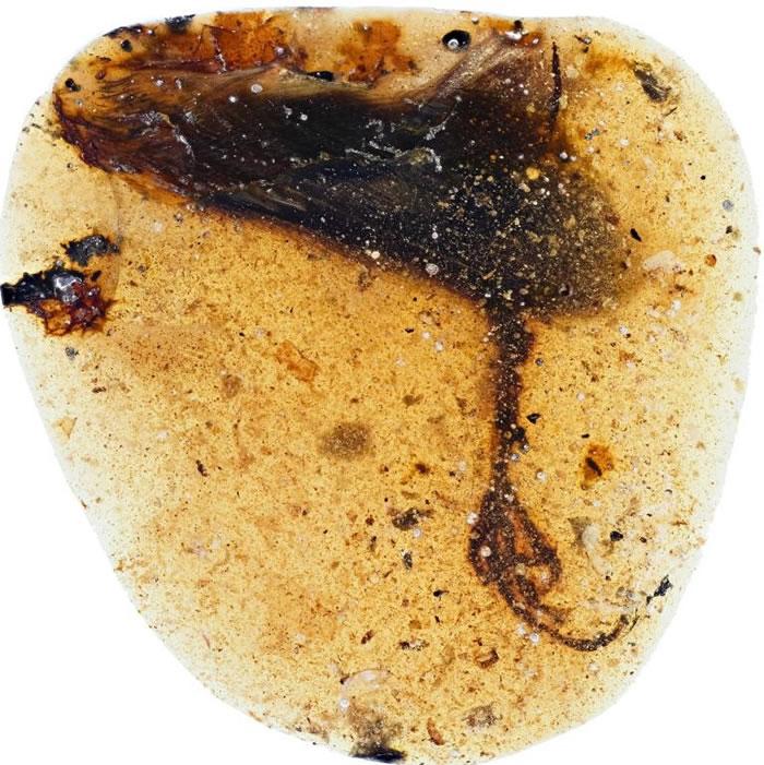 这支新种反鸟类的后肢被发现时包裹在一粒缅甸琥珀之中。 IMAGE BY LIDA XING