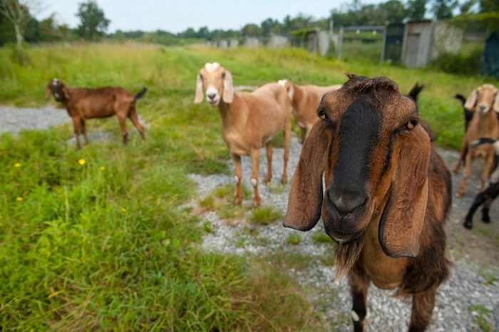 山羊是聪明的社会性动物。 新研究显示,牠们可以从其他山羊的叫声中,判断对方是快乐还是沮丧。 PHOTOGRAPH BY JOEL SARTORE, NAT GE