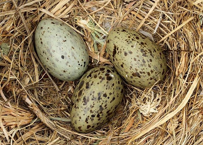 鸟蛋内的胚胎可以接收到警告讯号并与鸟巢内的兄弟姊妹分享 等到环境变得安全再破壳以出