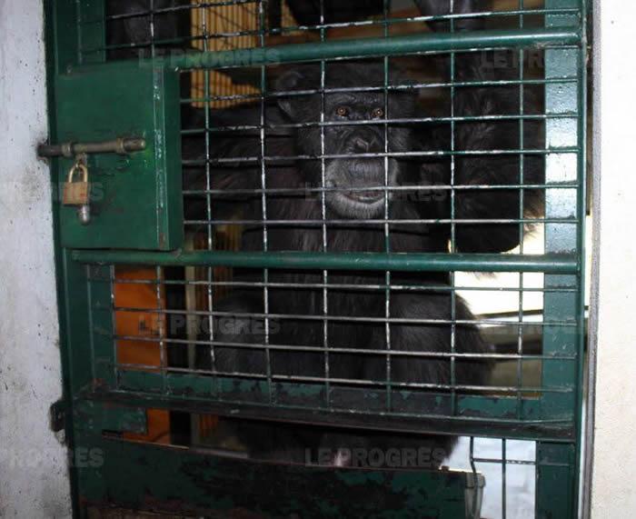 法国动物园一只脾气很好的黑猩猩当着游客的面咬掉工作人员半只手臂