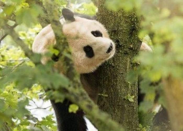 """旅居英国爱丁堡动物园大熊猫""""阳光""""多次遭通电围栏电击 引起中国网民愤怒"""