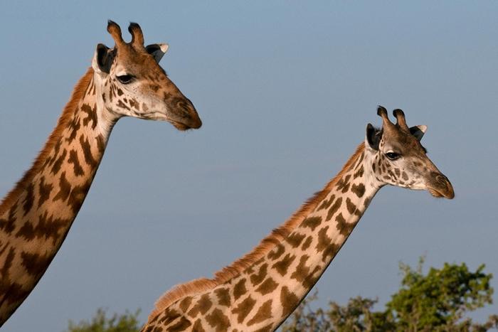 如今野外剩下3万5000头马赛长颈鹿。 牠们的数量在过去30年内已减少将近50%。 PHOTOGRAPH BY SERGIO PITAMITZ, NAT GEO