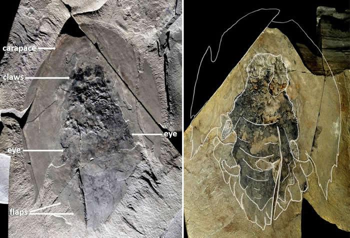 加拿大落基山脉出土5.06亿年前寒武纪海洋生物Cambroraster falcatus的化石