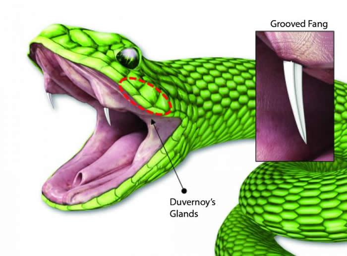 用类似蛇类毒牙样微针片快速给予啮齿类动物液体药物