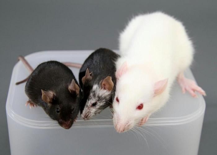 实验将会首先以老鼠试行。