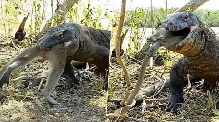 科摩多巨蜥只用了6口就轻松将整只猴子吞下肚