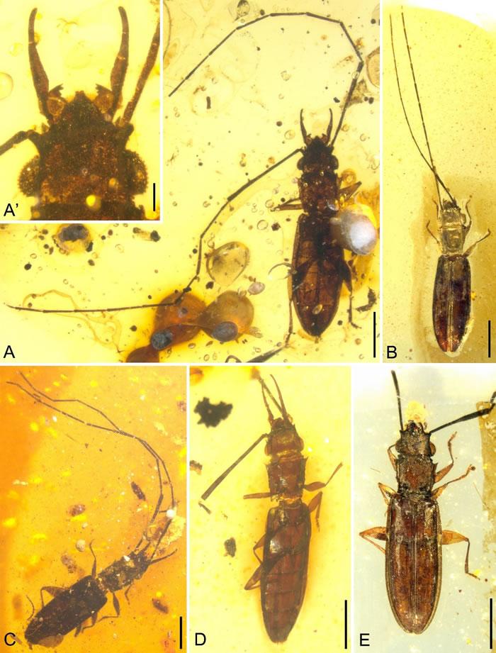 白垩纪缅甸琥珀中的长角原锯谷盗的雌雄异性现象:A、C和D(具上颚角)为雄性个体,其他为雌性个体