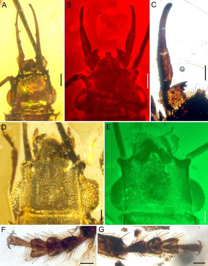 白垩纪缅甸琥珀中的长角原锯谷盗的细节特征