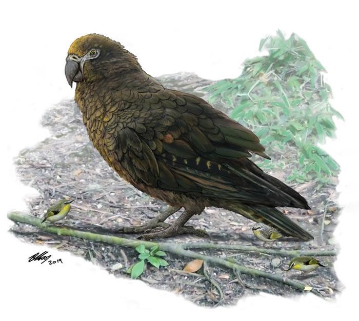 新西兰发现1900万年前巨型鹦鹉Heracles inexpectatus遗骸化石