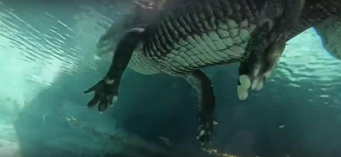 美国佛罗里达州拍摄的惊悚视频:在鳄鱼身下潜水