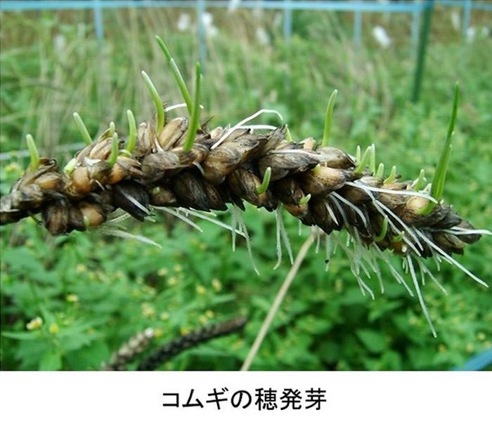 小麦被淋湿后很大机会发芽。