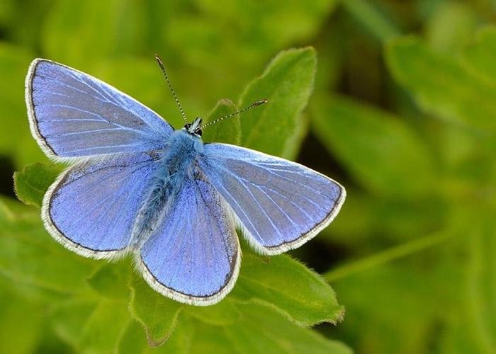 蓝蝶身上的银蓝宛若星空,幻彩翩然。