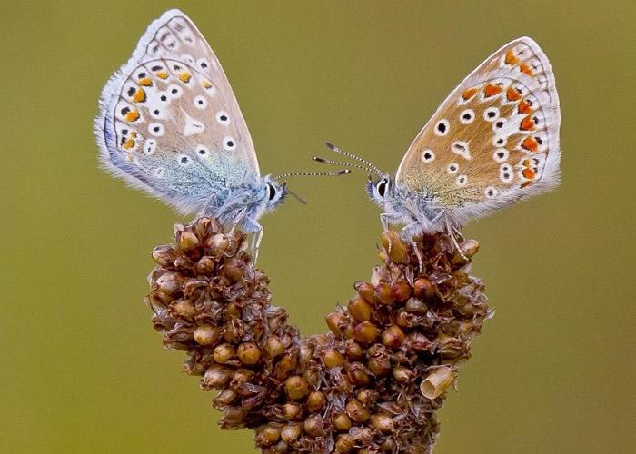 雄蝶羽翅透蓝纯粹,如同薄纱。