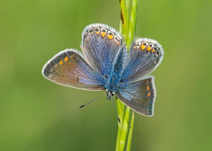 有雌蝶身上只带有微弱蓝色。