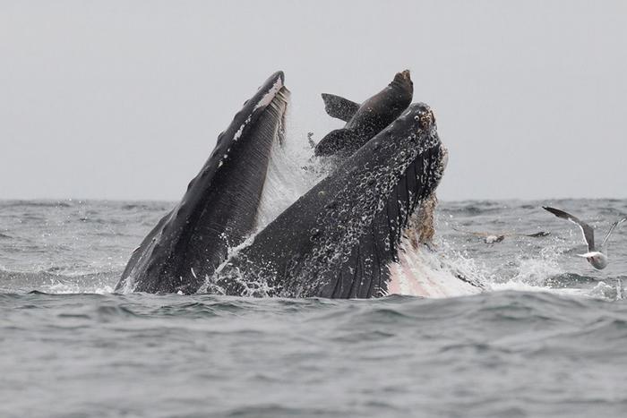 这只海狮为何会跑到座头鲸嘴里?