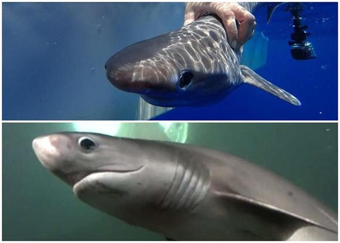 钝鼻六鳃幼鲨小巧可爱,但长大后不容小觑。